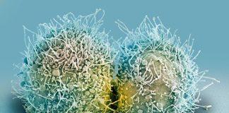 HeLa kanser hücreleri bölünürken